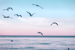 Grote groepstroep van zeemeeuwen op overzees meerwater en het vliegen in hemel op de zomerzonsondergang Stock Foto's