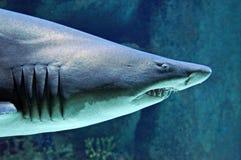 Grote Haai Royalty-vrije Stock Foto's