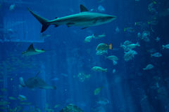 Grote haai die onder vissen in het aquarium zwemmen Stock Foto's