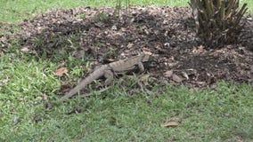 Grote hagedis die zich langs het bekijken door bladeren bewegen basis van boom stock footage