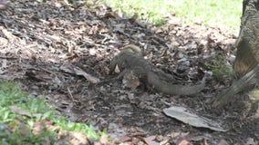 Grote hagedis van achter het graven door bladeren en het slikken van iets stock video