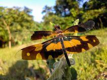 Grote heldere draakvlieg op het gebied met mooie vleugels stock fotografie