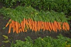 Grote, heldere, oranje wortelen op een bed Royalty-vrije Stock Afbeelding
