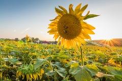 Grote heldere zonnebloem op gebied bij zonsondergang Stock Foto