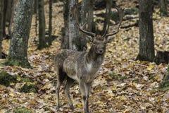 Grote herten in het hout Royalty-vrije Stock Foto