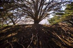 Grote het uitspreiden zich boom met wortels stock afbeeldingen