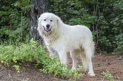 Grote het Veewacht Dog van de Pyreneeën stock afbeeldingen