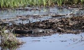 Grote het zonnebaden Amerikaanse Alligator royalty-vrije stock foto