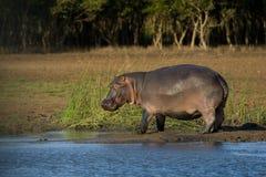 Grote hippo Royalty-vrije Stock Fotografie