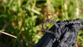 Grote hoektanden of kaken op het hoofd van een horzel Macrofotografie een insect geel jasje stock video