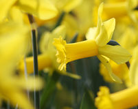 Grote hoeveelheid die gele narcissenbloemen onder zonneschijn groeien Royalty-vrije Stock Fotografie