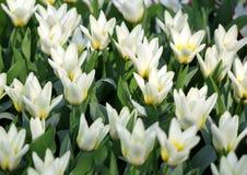 Grote hoeveelheid die gele tulpenbloemen onder zonnen groeien Royalty-vrije Stock Afbeeldingen