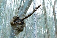 Grote holle boom op een achtergrond van gebied Stock Fotografie