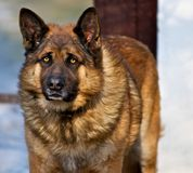 Grote hond. Stock Foto's