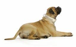 Grote hond Royalty-vrije Stock Fotografie