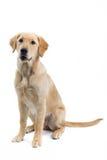 Grote hond Royalty-vrije Stock Afbeeldingen