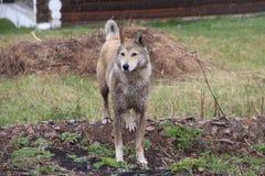 Grote hond die in de regen lopen stock foto's