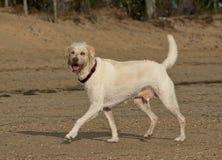 Grote hond die strand rondsnuffelen stock foto