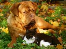 Grote hond en kleine Britse kat. royalty-vrije stock afbeelding