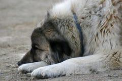 Grote Hond onbeweeglijk Royalty-vrije Stock Afbeelding