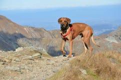 Grote hond op de heuvel stock foto