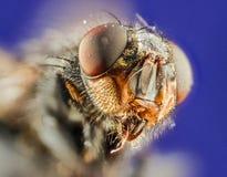 Grote hoofdvliegen Royalty-vrije Stock Foto's