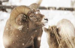 Grote hoornram in sneeuw royalty-vrije stock foto