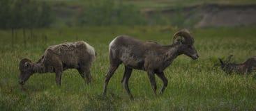 Grote hoornschapen in het Nationale Park van BadLands stock foto's