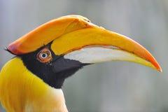 Grote Hornbill Royalty-vrije Stock Afbeeldingen