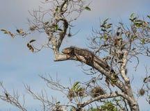 Grote I-leguaan die in takken van boom in moerasland zonnebaden Royalty-vrije Stock Afbeelding