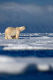 Grote ijsbeer op afwijkingsijs met sneeuw, vage donkere sneeuwberg op achtergrond, Svalbard, Noorwegen royalty-vrije stock afbeelding