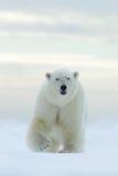 Grote ijsbeer op de rand van het afwijkingsijs met sneeuw een water in Noordpoolsvalbard Royalty-vrije Stock Foto