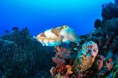 Grote Inktvissen op een koraalrif Stock Afbeelding