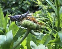 Grote insecten eyed sprinkhaan die van verwelkte bloem staren Stock Foto