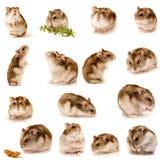 Grote inzameling van hamster Stock Foto's