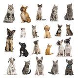 Grote inzameling van 10 honden en 10 katten in verschillende positie Stock Afbeeldingen