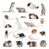 Grote inzameling van knaagdier, huisdier en exotisch, in verschillende positio stock afbeelding