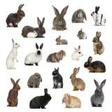 Grote inzameling van konijn, huisdier en exotisch, in verschillende positio royalty-vrije stock foto