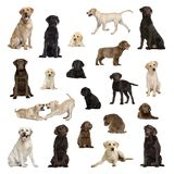Grote inzameling van Labrador, volwassene, puppy, verschillende positie stock foto's
