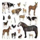 Grote inzameling van landbouwbedrijfdier in verschillende positie stock afbeelding