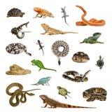 Grote inzameling van reptiel, huisdier en exotisch, in verschillende positi stock afbeeldingen