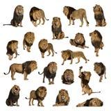 Grote inzameling van volwassen die leeuw op witte achtergrond wordt geïsoleerd stock afbeeldingen
