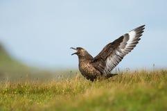 Grote jager Bonxie die, Noss, Shetland, het UK roepen royalty-vrije stock fotografie
