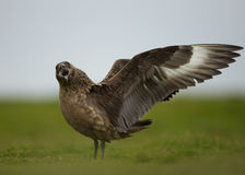 Grote jager (Stercorarius-jager) Stock Fotografie
