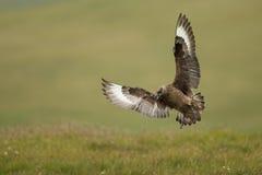 Grote jager (Stercorarius-jager) Stock Afbeelding