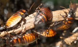 Grote kakkerlakken royalty-vrije stock afbeeldingen