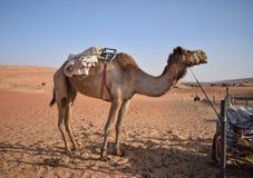 Grote kameel in de woestijn royalty-vrije stock fotografie