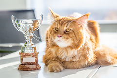 Grote Kampioen Rode Maine Coon Cat met Trofee, Horizontale Mening royalty-vrije stock afbeelding