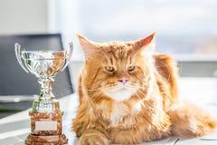 Grote Kampioen Rode Maine Coon Cat met Trofee, Horizontale Mening stock foto's