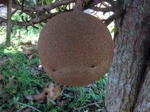 Grote kanonskogelfruit of Couroupita-guianensis stock fotografie